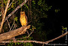 Kinabatangan: Buffy Fish Owl (<i>Bubo ketupu</i>)