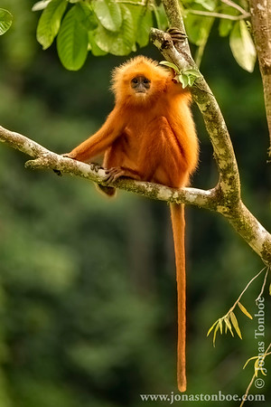 Red Leaf Monkey aka Maroon Langur