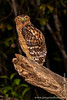 Malaysia. Borneo. Sabah. Kinabatangan: Buffy Fish Owl (<i>Bubo ketupu</i>)