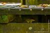 Sepilok. Sepilok Orangutan Rehabilitation Centre: Treeshrew
