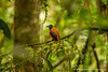 Danum Valley Conservation Area: Red Naped Trogon (<i>Harpactes kasumba</i>)