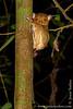 Sepilok. Sepilok Orangutan Rehabilitation Centre: Western Tarsier (<i>Cephalopachus bancanus</i>)