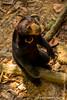 Sepilok. Bornean Sun Bear Conservation Centre: Sun Bear (<i>Helarctos malayanus</i>)
