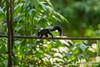 Sepilok. Sepilok Orangutan Rehabilitation Centre: Squirrel