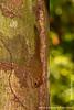 Plain Pygmy Squirrel