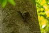 Malaysian Colugo aka Flying Lemur