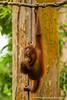 Sepilok. Sepilok Orangutan Rehabilitation Centre: Bornean Orangutan (<i>Pongo pygmaeus</i>)