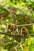 Long-tailed Macaque and Sunda Pig-tailed Macaque