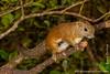 Malaysia. Borneo. Sabah. Mount Kinabalu National Park: Borneo Black Banded Squirrel (<i>Callosciurus orestes</i>)