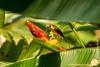 Danum Valley Conservation Area: Spiderhunter