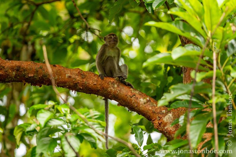 Kinabatangan: Long-tailed Macaque (<i>Macaca fascicularis</i>)