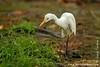 Pulau Tiga: Egret