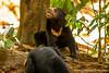 Malaysia. Borneo. Sabah. Sepilok. Bornean Sun Bear Conservation Centre: Sun Bear (<i>Helarctos malayanus</i>)