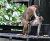 macaques making love