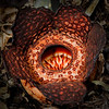 Rafflesia - World's Largest Flower