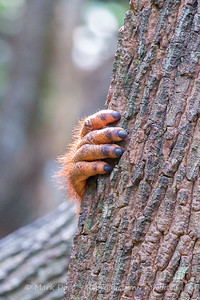 Hand of a young male Orangutan, Sabah, Malaysian Borneo