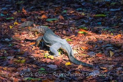 Monitor Lizard, Danum Valley Conservation area, Sabah, Malaysian Borneo