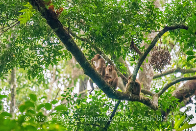 Pig-tailed Macaque's, Danum Valley Conservation area, Sabah, Malaysian Borneo