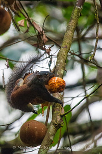 Horse-tailed Squirrel, Danum Valley Conservation area, Sabah, Malaysian Borneo