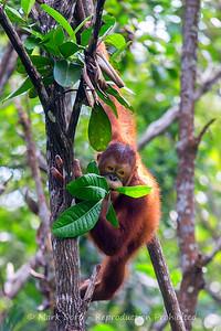 Young male Orangutan, Sabah, Malaysian Borneo