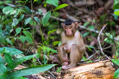 Juvenile Pig-tailed Macaque, Danum Valley Conservation area, Sabah, Malaysian Borneo