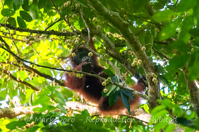 Young Orangutan feeding, Danum Valley Conservation area, Sabah, Malaysian Borneo
