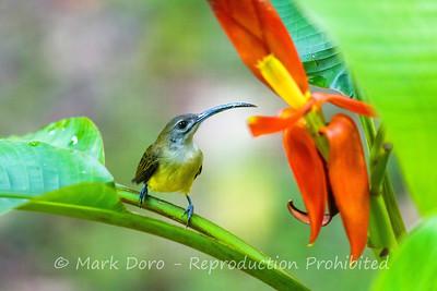 Bornean Spiderhunter, Danum Valley Conservation area, Sabah, Malaysian Borneo