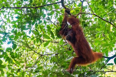 Orangutan, Danum Valley Conservation area, Sabah, Malaysian Borneo