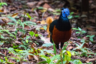 Male Bornean Crested Fireback, Danum Valley Conservation area, Sabah, Malaysian Borneo