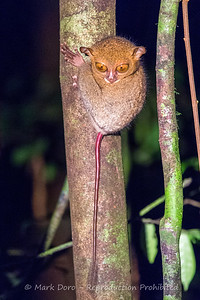 Western Tarsier, Danum Valley Conservation area, Sabah, Malaysian Borneo
