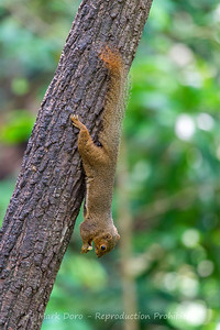Low's Squirrel, Danum Valley Conservation area, Sabah, Malaysian Borneo