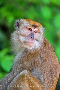 Long-tailed Macaque, Sabah, Malaysian Borneo