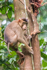 Pig-tailed Macaque, Danum Valley Conservation area, Sabah, Malaysian Borneo