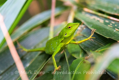 Green Tree Lizard, Danum Valley Conservation area, Sabah, Malaysian Borneo
