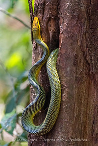 Grey-tailed Racer, Danum Valley Conservation area, Sabah, Malaysian Borneo