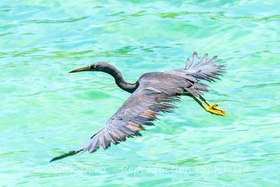 Pacific Reef Egret, Gaya Island, Malaysian Borneo