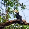 Pied Hornbill, Sabah, Malaysian Borneo