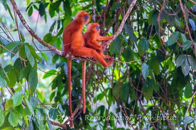 Adult and juvenile Red-leaf Monkey, Danum Valley Conservation area, Sabah, Malaysian Borneo