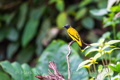 Black-headed Bulbul, Danum Valley Conservation area, Sabah, Malaysian Borneo