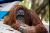 One of the many awesome Orangutans of Borneo.  I'll call him George