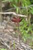 1802  Malaysia - Borneo, Bako National Park, Lintang trail