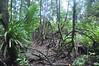 1799  Malaysia - Borneo, Bako National Park, Lintang trail