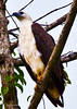 _MG_3484white chested sea eagle A