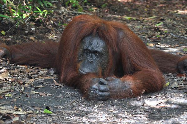 Borneo - Kalimantan