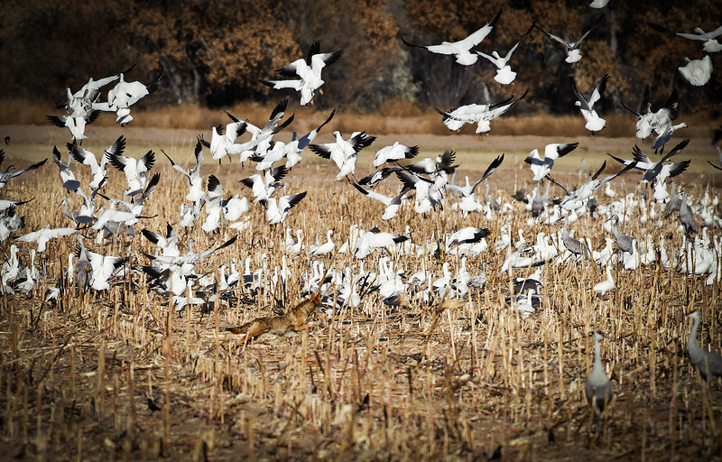 Coyote & Snow Geese