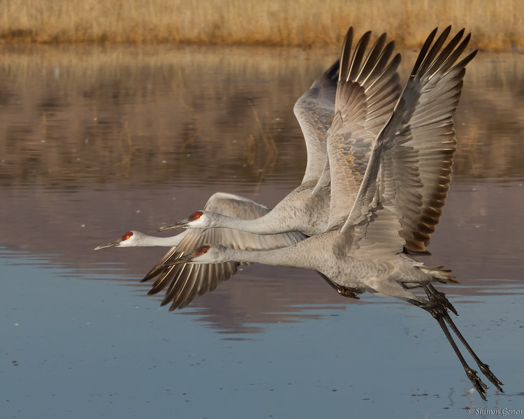 Sandhill Cranes taking off - Bosque Del Apache, New Mexico