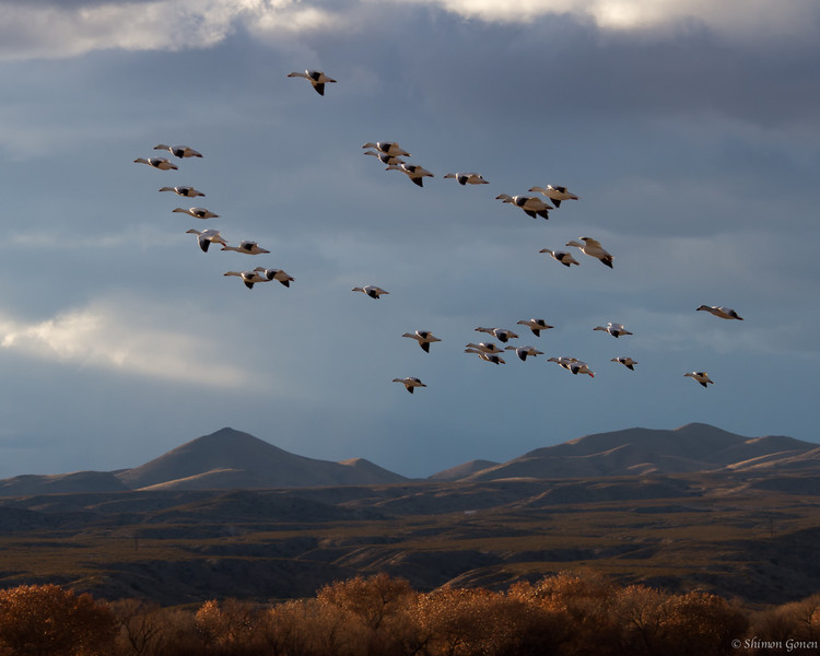 Snow Geese - Bosque Del Apache, New Mexico