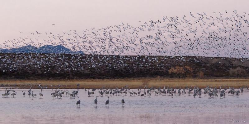 Big take off - Bosque refuge, New Mexico