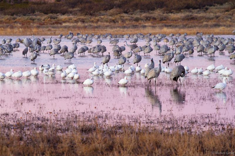Sandhill cranes and Snow Geese - Bosque Del Apache, New Mexico