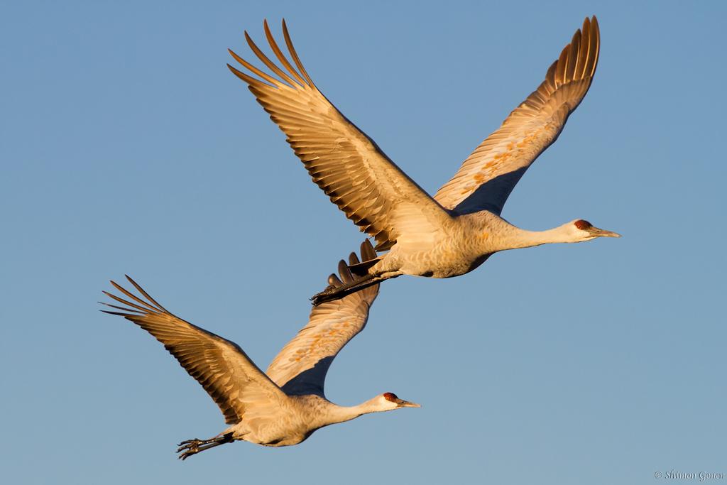 Sandhill Cranes - Bosque Del Apache, New Mexico
